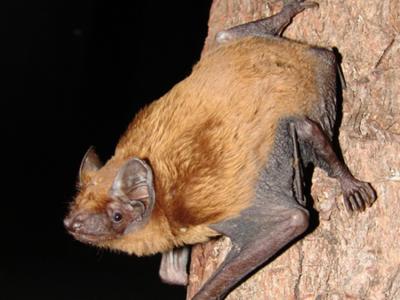 Se descubre la primera colonia de nóctulo mediano (Nyctalus noctula) en Castilla y León