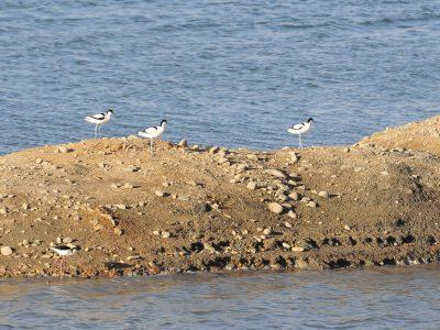 Seguimiento de aves acuáticas en graveras de Seseña